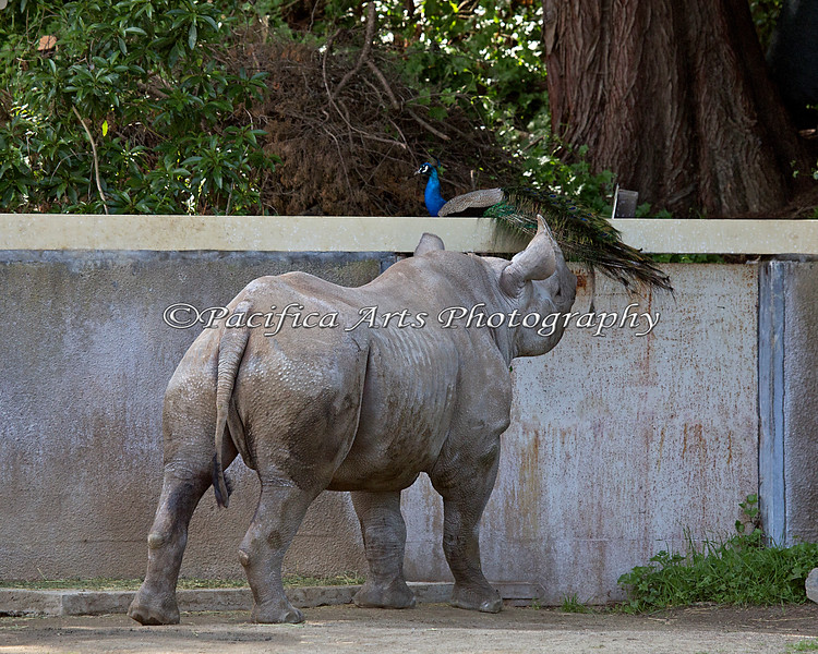 Black Rhinoceros, Boone, is escorting the peacock out of his yard.