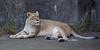 African Lioness, Sukari