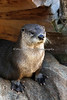 Kellie, a North American River Otter
