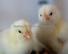 Chicks at the Children's Zoo.  (This photo is sort of soft on focus, but then the birds are soft too!)