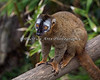 A very pretty little Red Fronted Lemur
