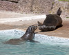 California Sea Lions, Henry & Silent Knight