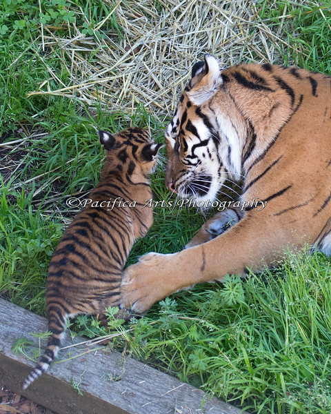 First Day out for little cub, Jillian and mom, Leanne (Sumatran Tigers)