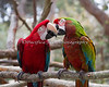 Best Buddies!  Green-winged Macaw, Pepe, and Military Macaw, Irene.