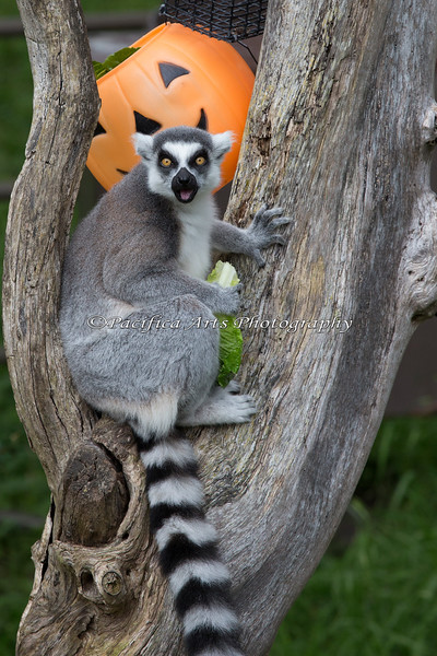 """""""I love Boo at the Zoo!""""  (Ring-tailed Lemur)"""