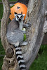 """I love Boo at the Zoo!""  (Ring-tailed Lemur)"