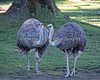 """I think that other ostrich has funny looking legs!""  ""Yeah, me too!"" (""Gossiping"" Ostriches)"
