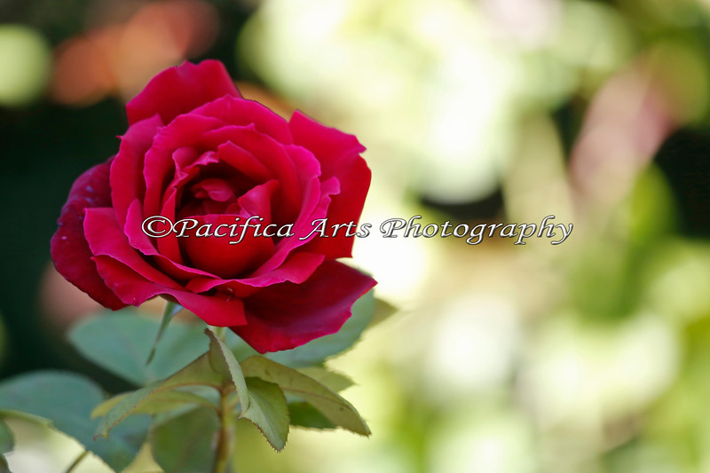 One of the last Roses in the garden near the Children's Zoo