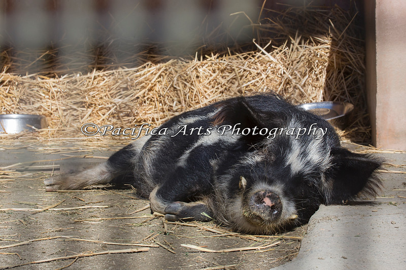 Two dishes emptied - now it's time for a nap!  (KuneKune Pig)