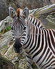 Grant's Zebra.  Love the fuzzy ears!