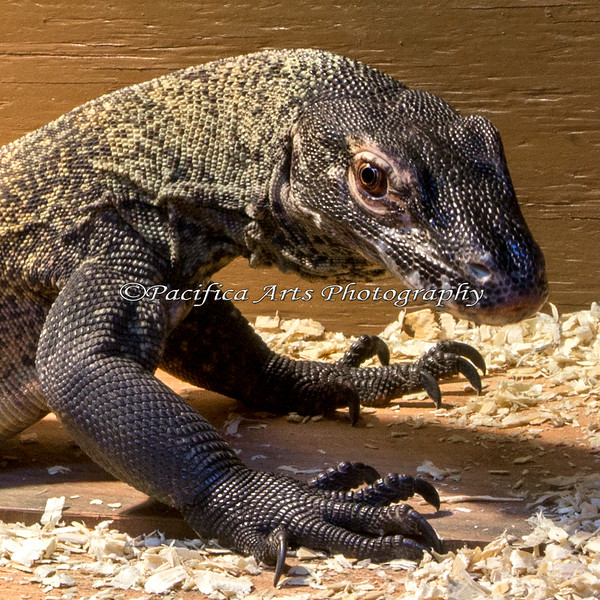 """I'm Big Daddy Bahasa!""  (Komodo Dragon)  This animal is awesome to photograph!"