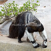 Angelo, a Giant Anteater