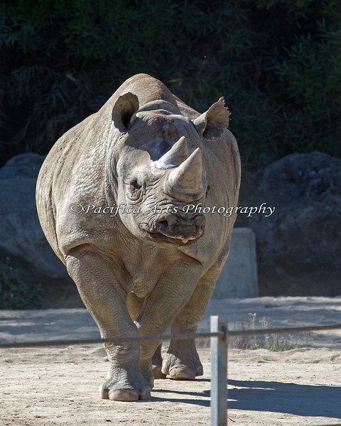 Elly, a Black Rhinoceros