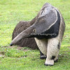 Evita, a Giant Anteater, strolling around her yard.