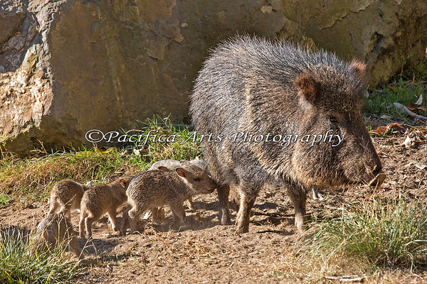 At less than a week old, these Chacoan Peccary pups stay pretty close to Mom.