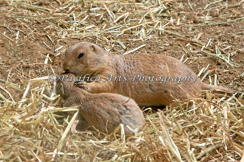 Black-tailed Prairie Dog Mom checking on her baby.
