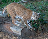 Bobcat, Inti, sharpening his claws on the log