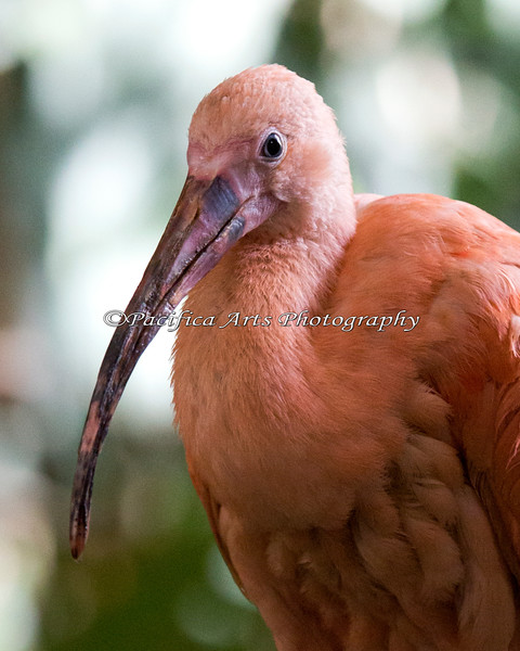 A friendly little Scarlet Ibis