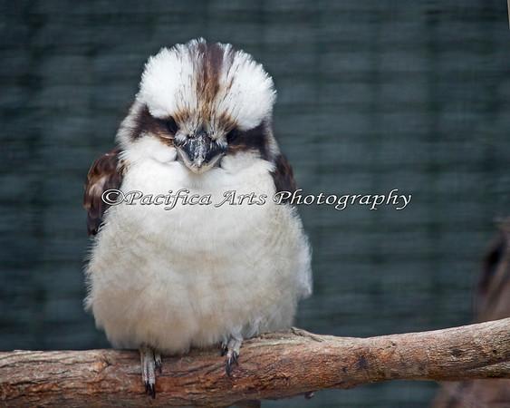 A very fluffy Kookaburra.