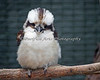 A very fluffy Kookaburra.