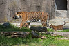 Little Cub, Jillian tries to catch Leanne's tail.  (Sumatran Tigers)