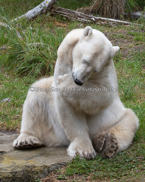 """""""You think I'm Cute?  Ah, gee, Thanks!""""  (Polar Bear - Uulu)"""