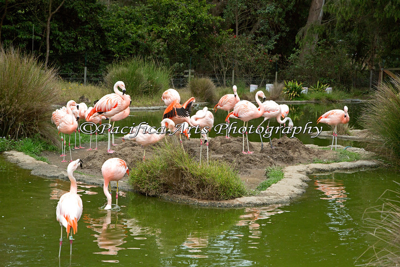 A flock of Chilean Flamingos, checking out the new nesting mounds made by the Bird Keeper.