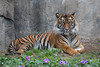 Larry, laying in the Morning Glories (Sumatran Tiger)