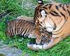 """Snuggle Time"" (Sumatran Tiger, Leanne & her cub, Jillian)"