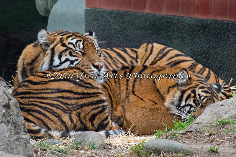 Mom Leanne takes good care of her cub Jillian, even when sleeping.  (Sumatran Tigers)