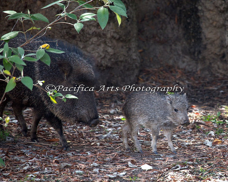 This little baby Chacoan Peccary is having fun exploring its exhibit.