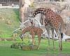 Reticulated Giraffes, Erin & Bititi.