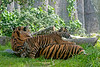Sumatran Tigers, Leanne and daughter, Jillian