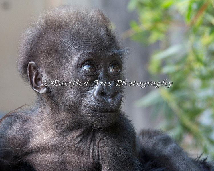 Thanks to Keeper Athena for the opportunity to get some close-up photos!  Amazing little girl Gorilla!