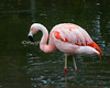 A Chilean Flamingo wading in the pond.