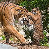 """Hugs for Mom"" (Leanne & Jillian - Sumatran Tigers)"
