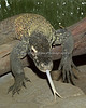 "Komodo Dragon, ""Big Daddy Bahasa"", senses that lunch is near!"