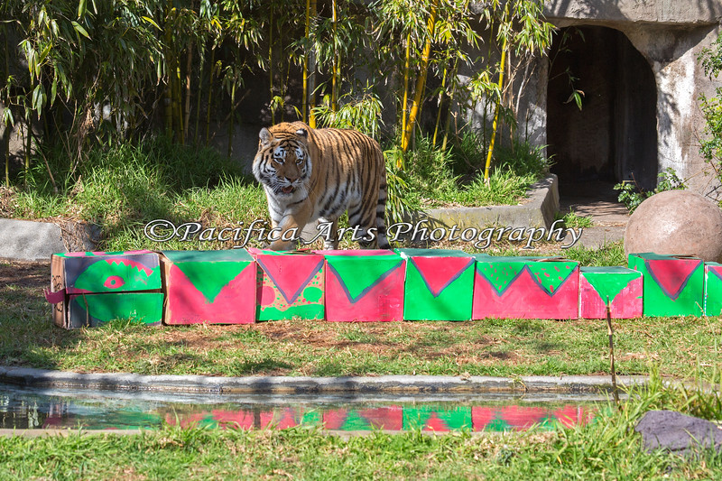 """Lunar New Year - """"Year of the Snake"""".  Martha (Siberian Tiger) discovers a snake in her exhibit!  School children painted these boxes for animal enrichment."""
