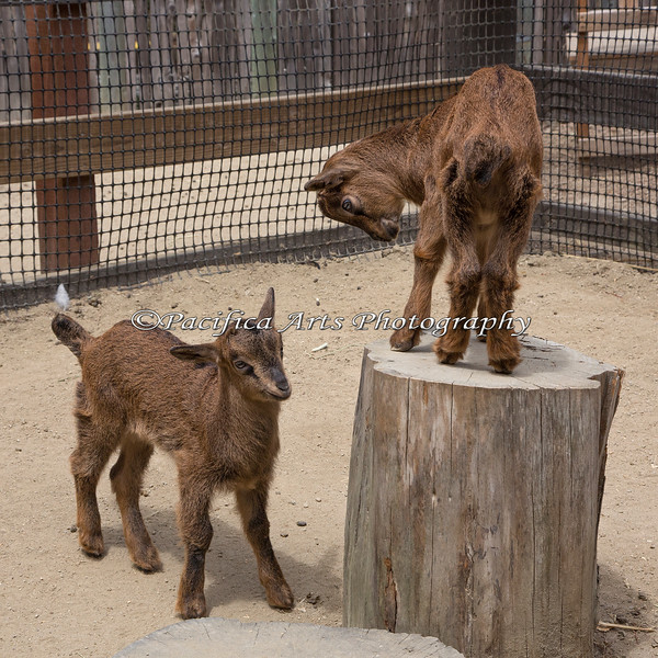 """King of the Stump!""  (San Clemente Island Goat kids)"