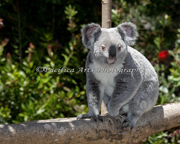 Cynthia, a Koala