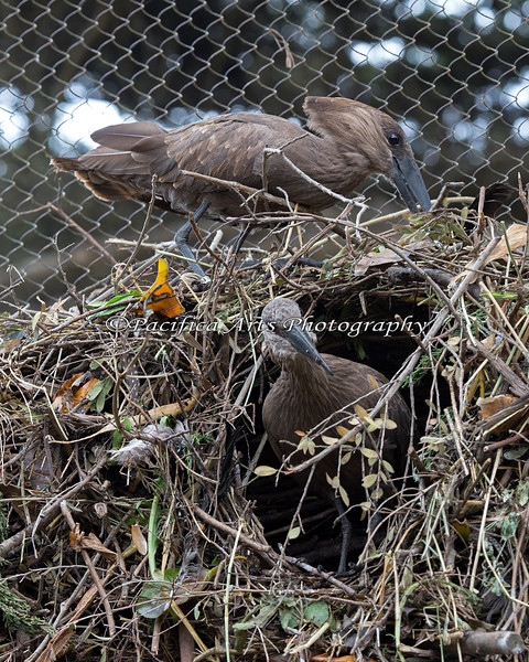 Hamerkop nest still under construction.  This is a big nest!