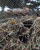 Hamerkop nest still under construction.  This is a big nest!
