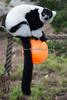 Nomnomnom! (Black & White Ruffed Lemur)