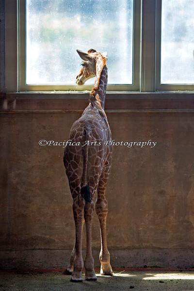 12 day old Erin, looking at the big world outside the Giraffe Barn (Reticulated Giraffe)