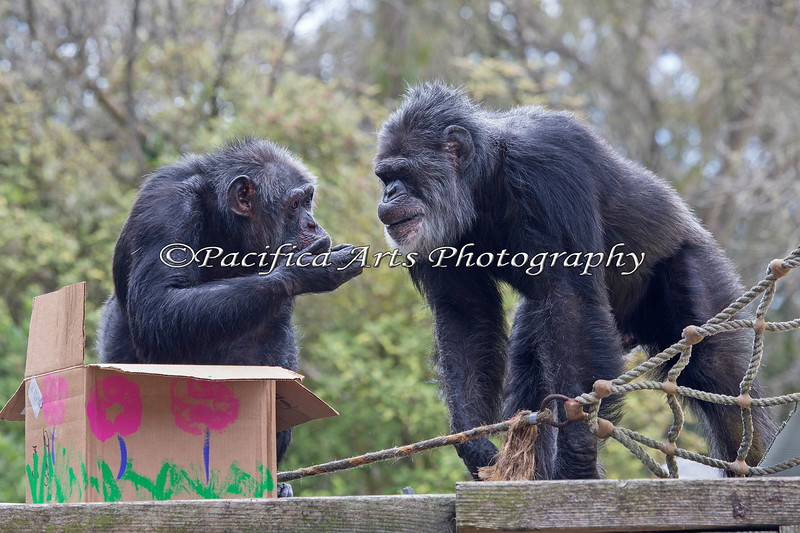 Cobby comes over to see what Minnie has found in the treat box during Big Bunny's Spring Fling. (Chimpanzees)