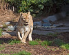 Amanzi can smell a treat, and now she has to find it! (African Lioness)