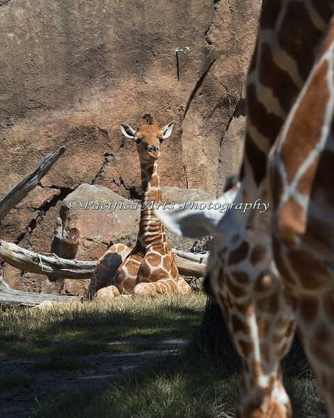 Erin, a young Reticulated Giraffe rests on the grass, while the adults keep watch.