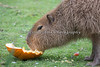 "A Capybara chowing down on a big piece of pumpkin, during ""Boo at the Zoo""."