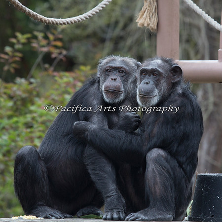 Minnie & Maggie, Chimpanzees, have spotted something across the way.