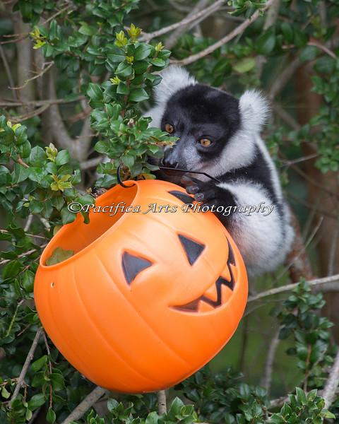 The Keeper hung an extra jack-o-lantern near this shy Lemur, so he would get some treats too! (Black & White Ruffed Lemur)